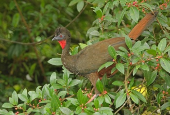 Crested Guan copyright Kim and Cindy Risen