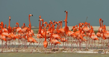 American Flamingos copyright Kim and Cindy Risen