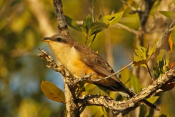 Mangrove Cuckoo copyright Kim and Cindy Risen