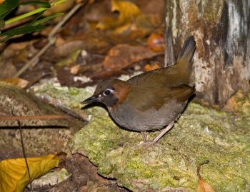 Mexican Antthrush copyright Kim and Cindy Risen