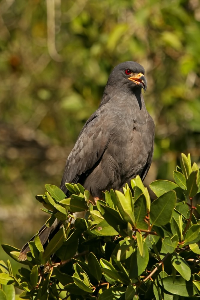 Snail Kite copyright Kim and Cindy Risen