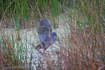 spotted rail II copyright Kim and Cindy Risen