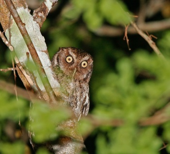 Vermiculated Screech-Owl copyright Kim and Cindy Risen