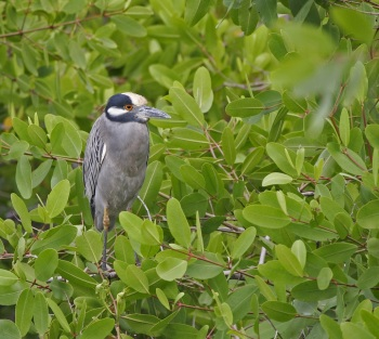 Yellow-crowned Night Heron copyright Kim and Cindy Risen