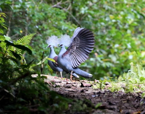 Western Crowned Pigeon copyright Jeff Cooper