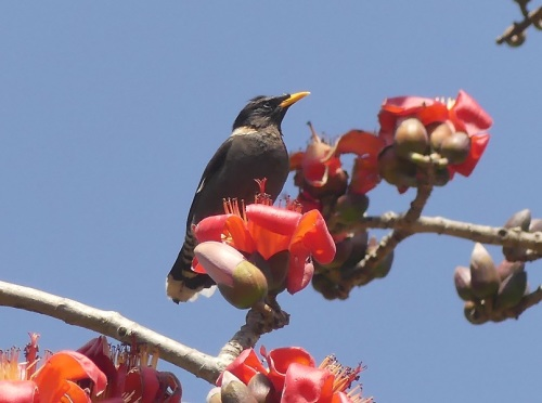 Collared-myna by Nick Upton