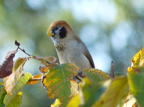 Spot-breasted-parrotbill by Nick Upton