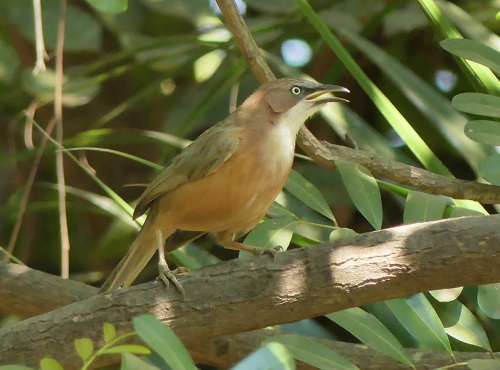 White-throated-babbler by Nick Upton