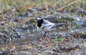 6f. Masked Wagtail by Nick Bray