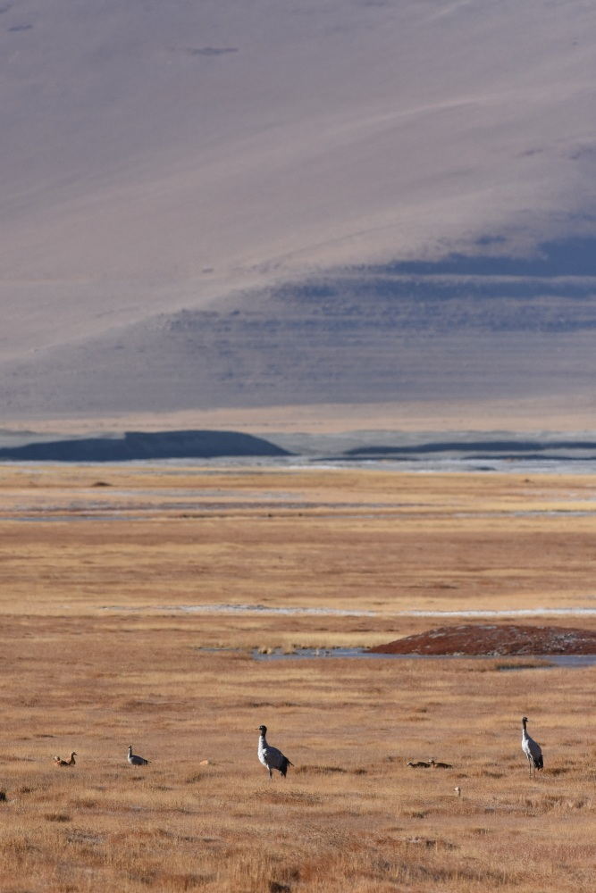 Black-necked Cranes, Tso KAr by Nick Bray