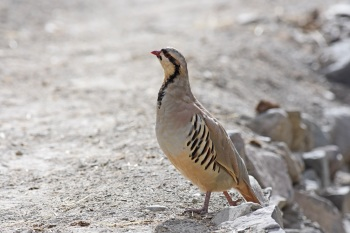 Chukar by Nick Bray