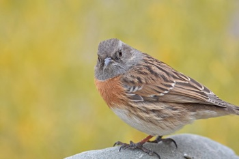 Robin Accentor by Nick Bray