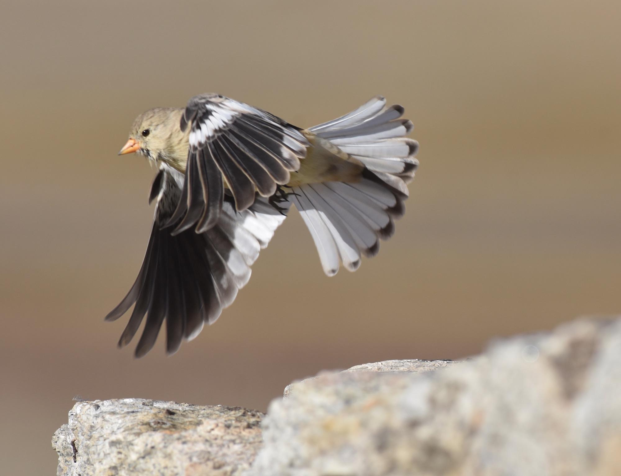 tibetan snowfinch