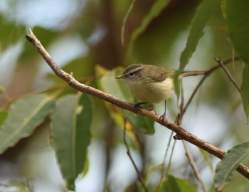 Rote Leaf Warbler - Rote Island, Lesser Sundas 2017 by Nick Bray