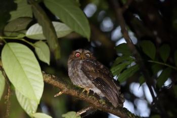 Flores Scops-Owl - Lesser Sundas 2017 by Nick Bray
