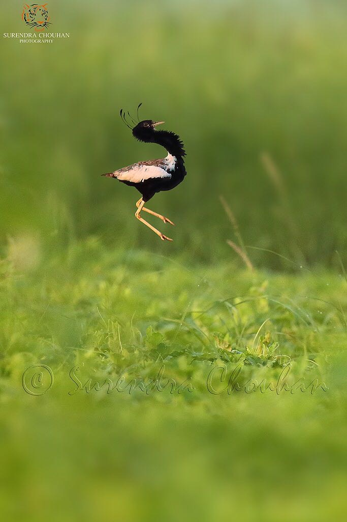 Lesser Florican 2 copyright Surendra Chouhan Photography
