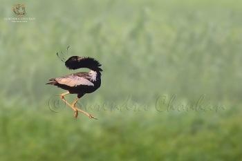 Lesser Florican 5 copyright Surendra Chouhan Photography