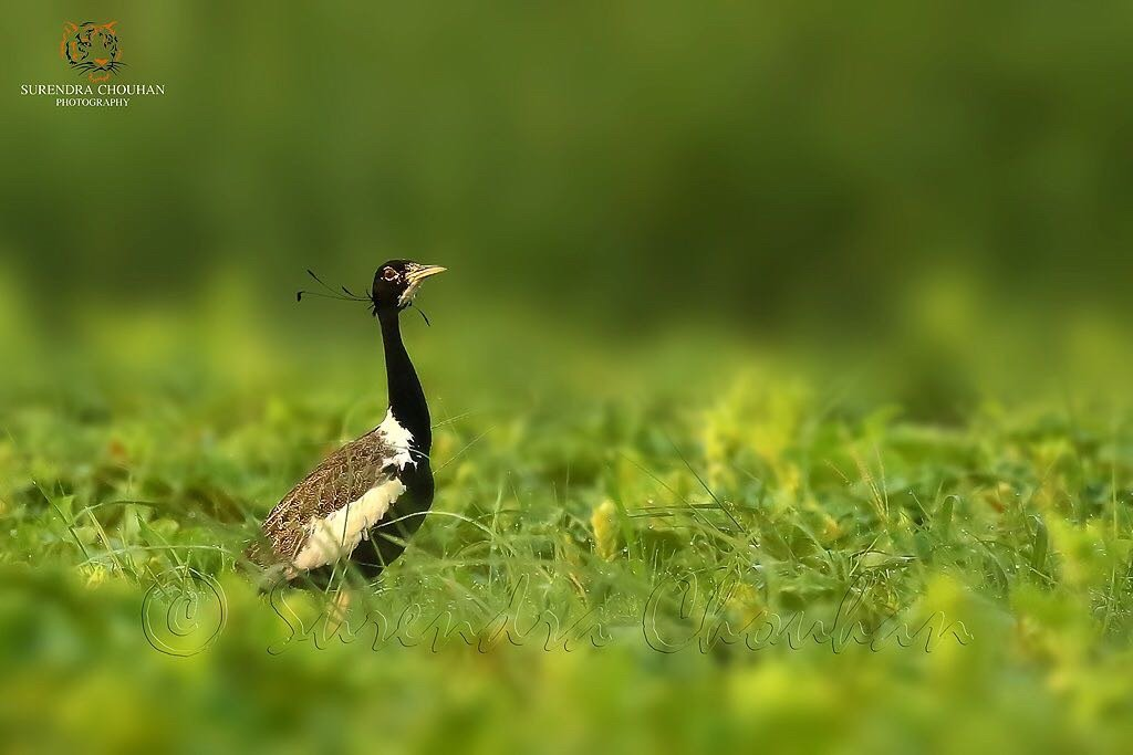 Lesser Florican copyright Surendra Chouhan Photography