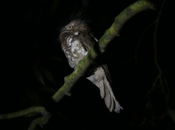 Javan-Frogmouth by Nick Upton