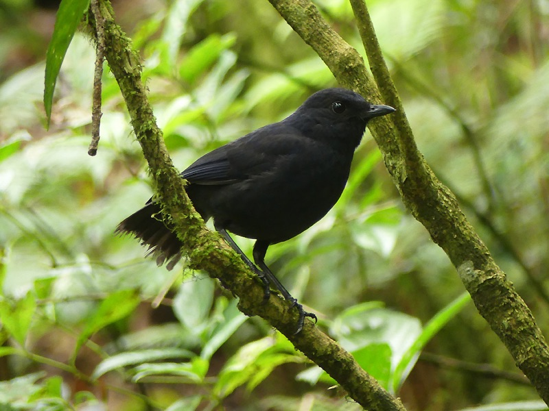 Javan Whistling-Thrush