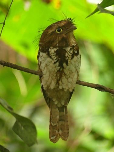 Sumatran-Frogmouth by Nick Upton