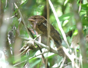 Goulds Frogmouth by Nick Bray