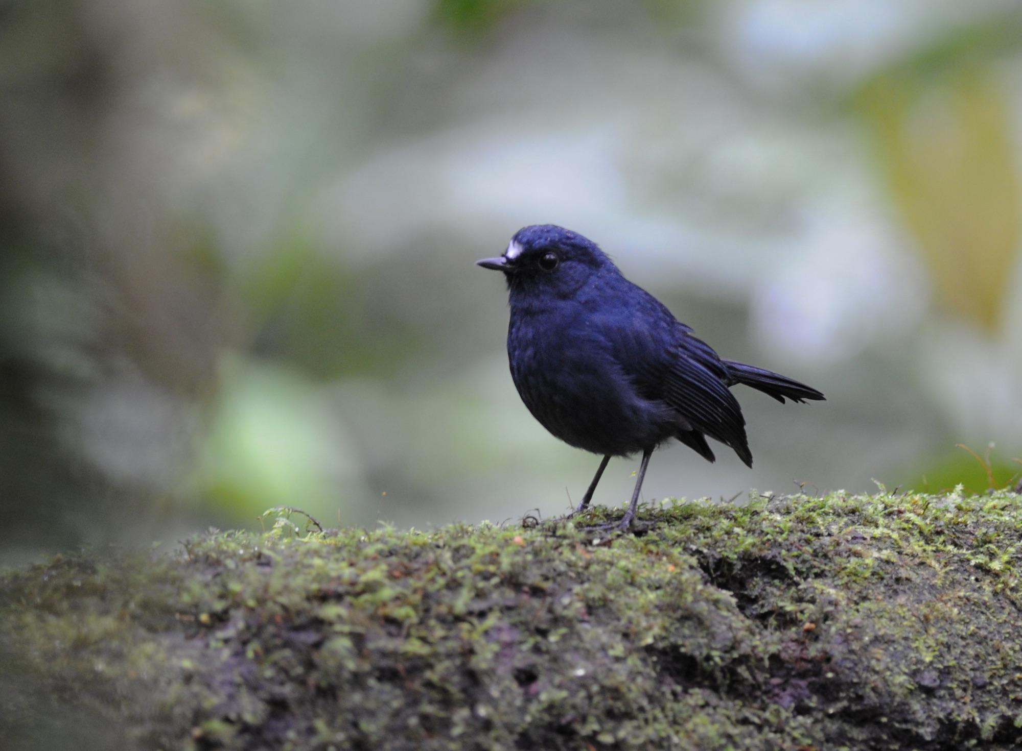 Sunda Blue-Robin