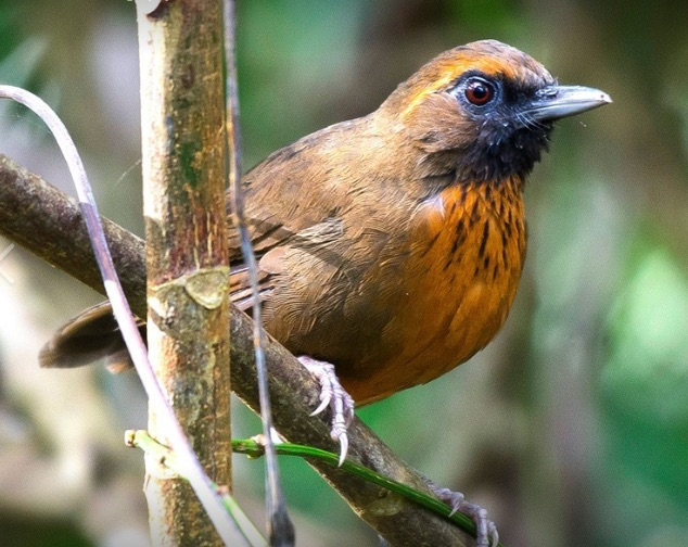 Orange-breasted Laughingthrush