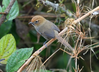 Black-throated Thistletail - La Cumbre, Bolivia 2018 by Nick Bray