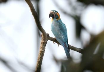 Blue-throated Macaw - Beni, Region, Bolivia 2018 by Nick Bray