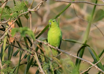 Blue-winged Parrotlet 2 - Beni, Region, Bolivia by Nick Bray