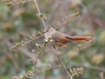 Brown-capped Tit-Spinetail by Nick Bray