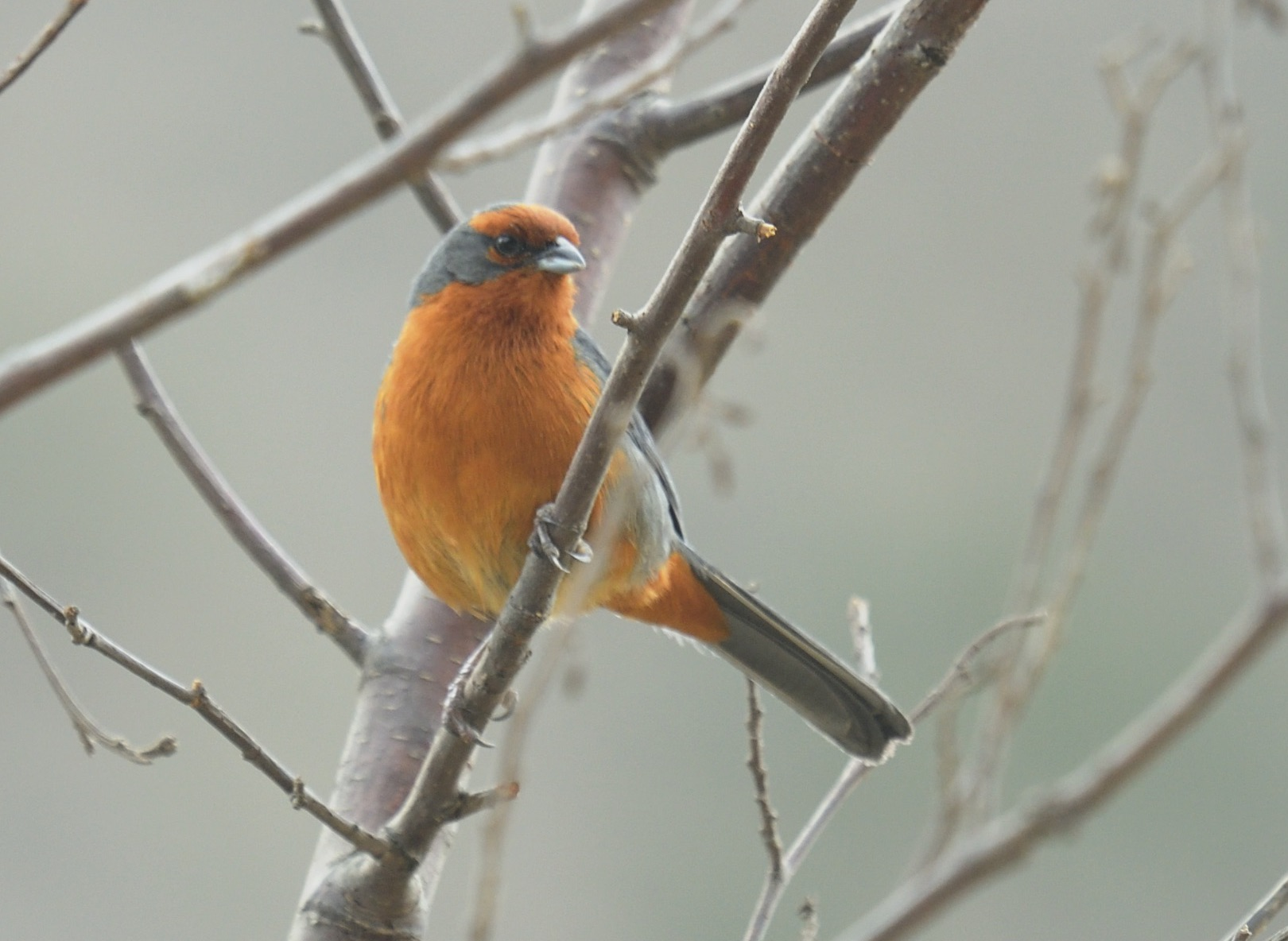 cochabamba mountain-finch