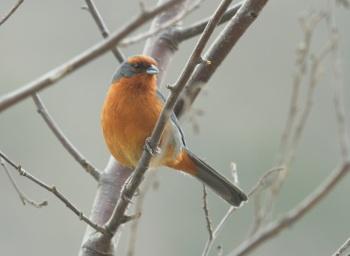 Cochabamba Mountain-Finch by Nick Bray