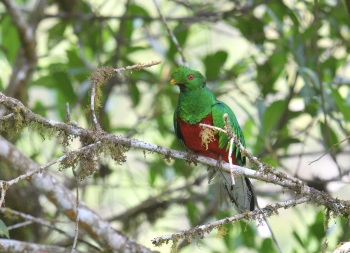 Crested Quetzal, Bolivia by Nick Bray