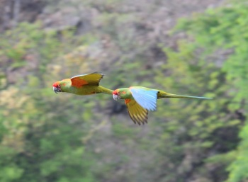 Red-fronted Macaws by Nick Brayjpg