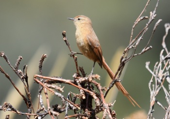 Tawny Tit-Spinetail by Nick Bray