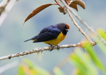 Orange-bellied Euphonia by Nick Bray