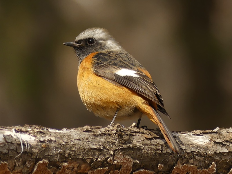 Daurian Redstart by Nick Upton