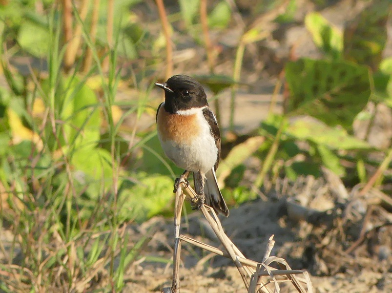 White-tailed Stonechat by Nick Upton