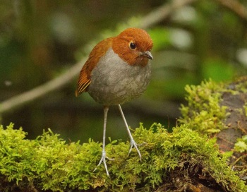 Bicolored Antpitta by Jose Castano