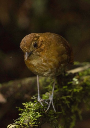 Brown-banded Antpitta by Jose Cstano