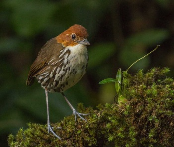 Chestnut-crowned Antpitta by Jose Castano