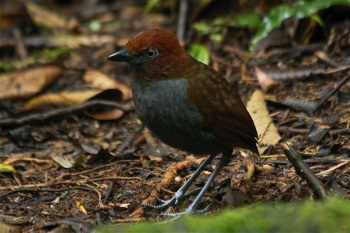 Chestnut-naped Antpitta by Jose Castano