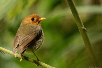 Hooded Antpitta by Jose Castano