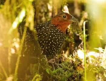 Ocellated Tapaculo by Jose Castano