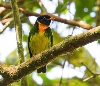 Orange-breasted Fruiteater by Jose Castano