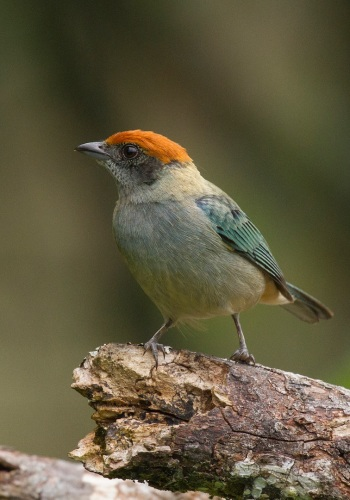 Scrub Tanager by Jose Castano