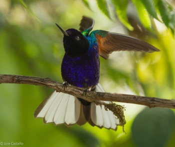 Velvet-purpple Coronet by jose Castano