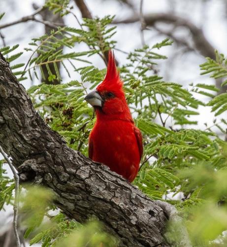 Vermilion Cardinal by Jose Castano